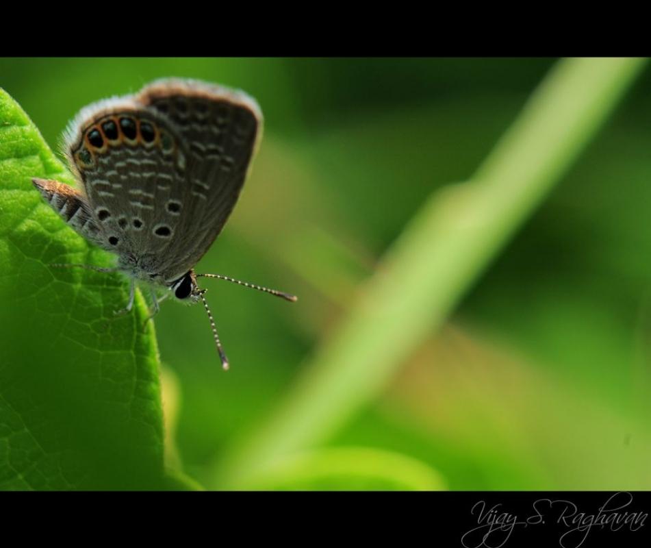 Grass Jewel