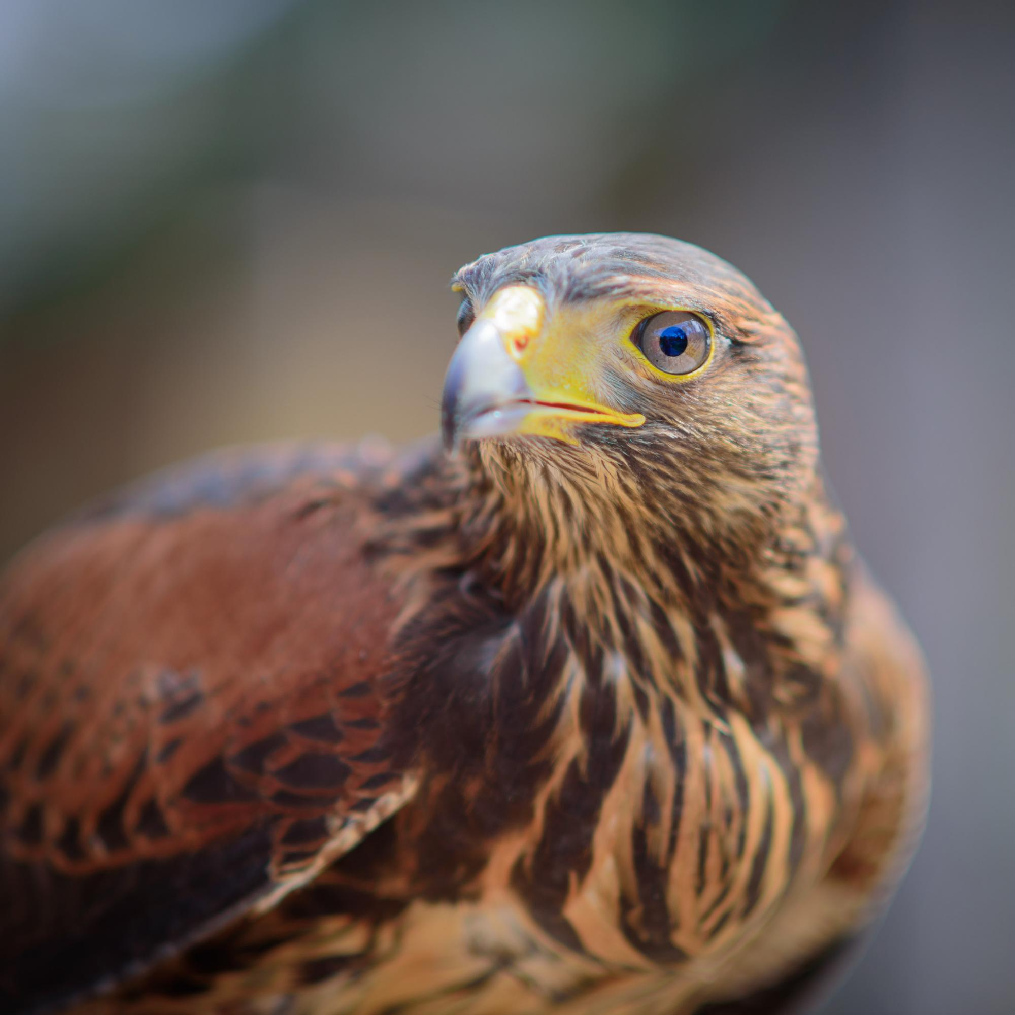 Buzz the Harris's Hawk