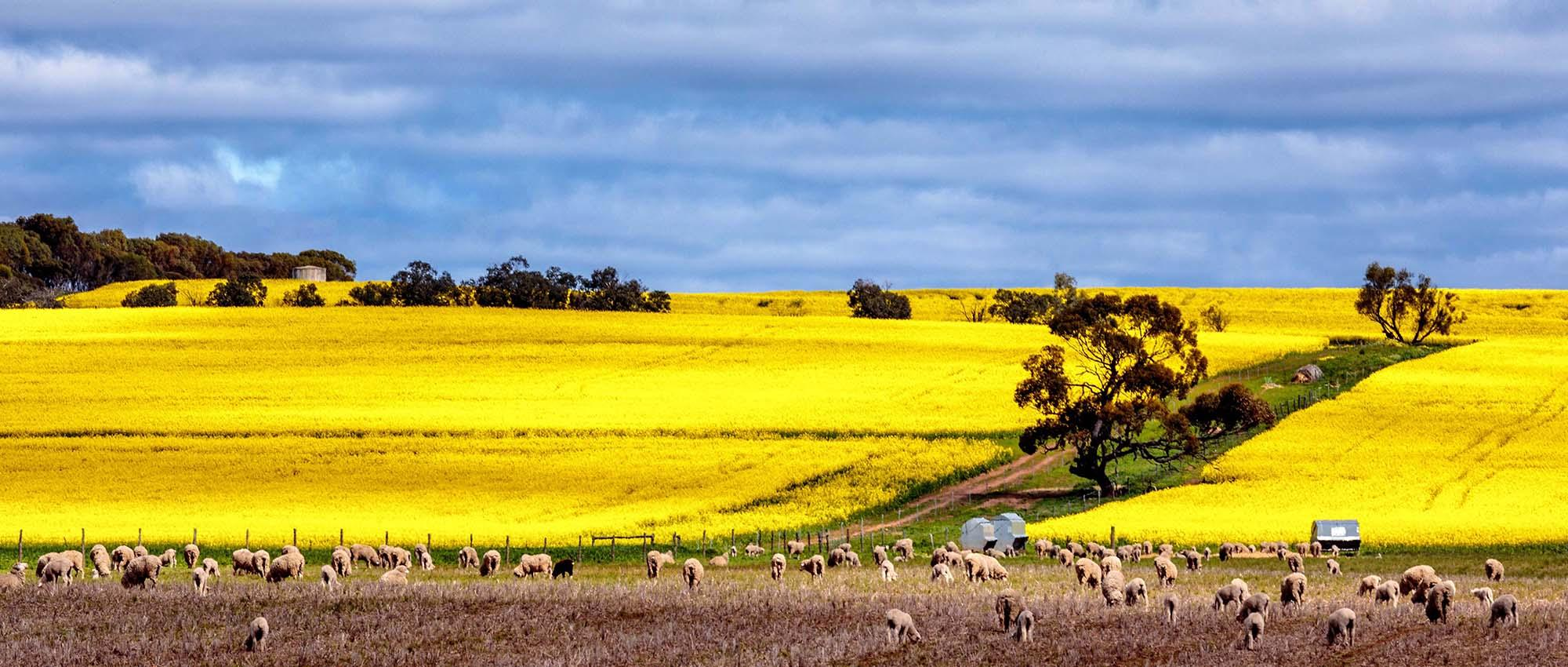 Canola in Full Bloom