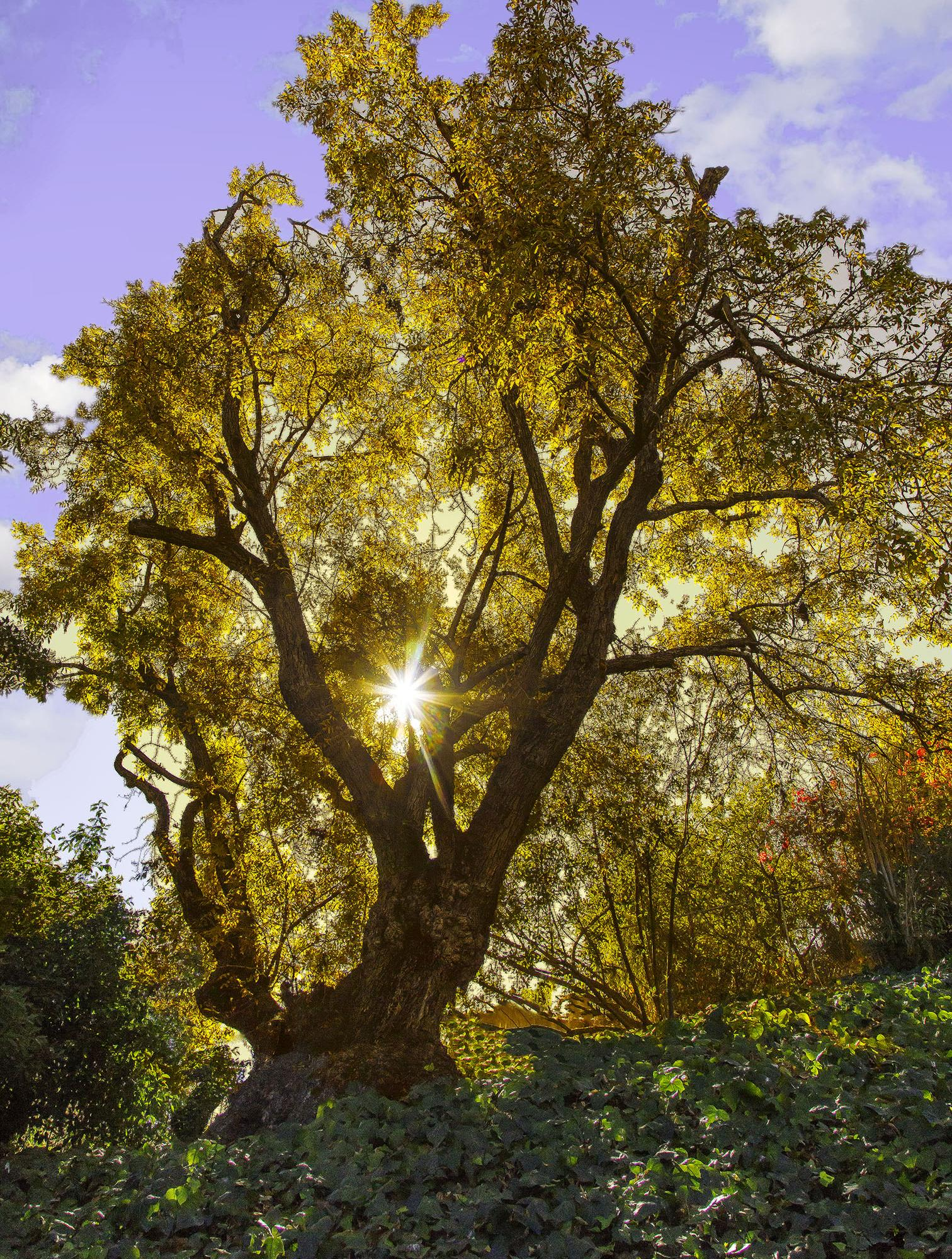 Dan Blackburn Sun Through Golden Black Walnut Leaves_MGL1697