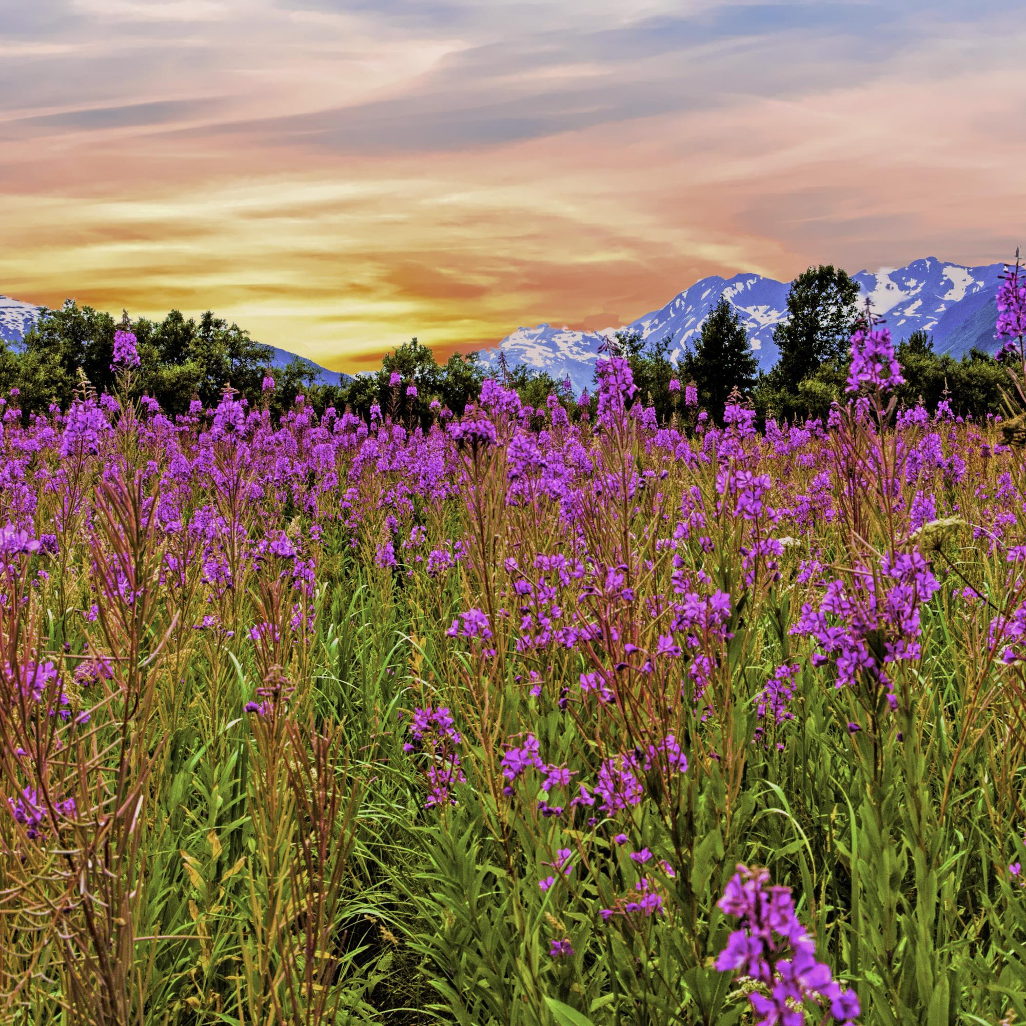 Dan Blackburn Intense Fireweed Portage Alaska_MGL7766 copy