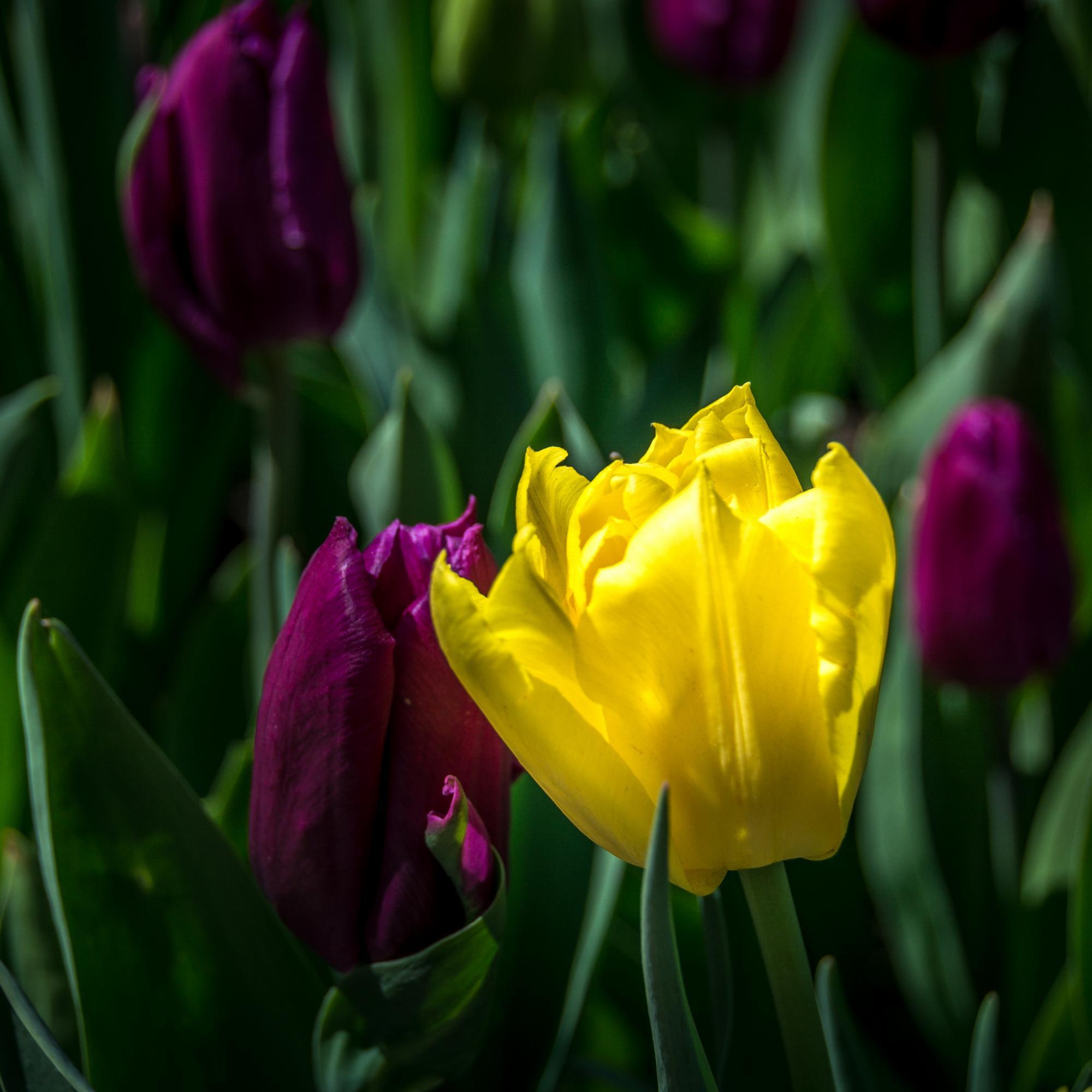 yellow tulip-718542