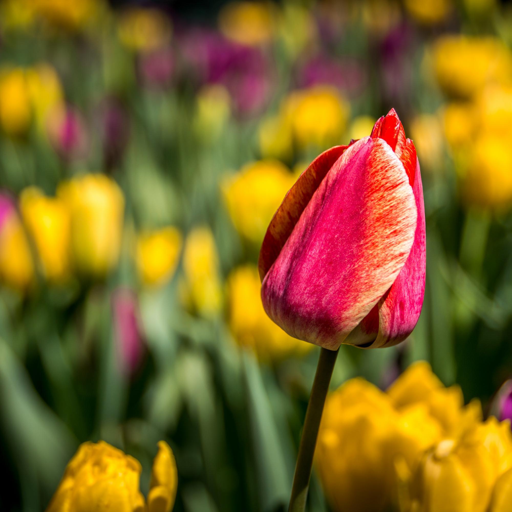 red tulip-718545