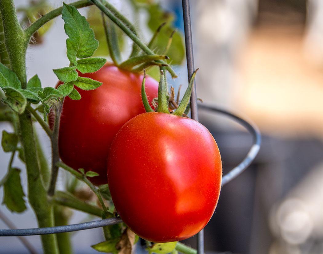 Two Roman tomatoes on the bine