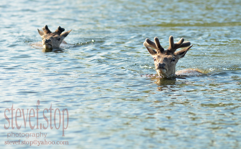 cooling down stag's