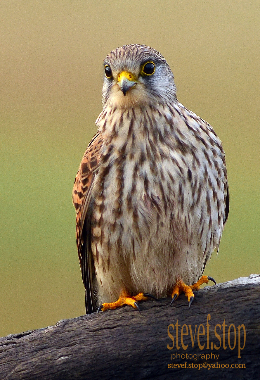 Kestrel in Richmond park