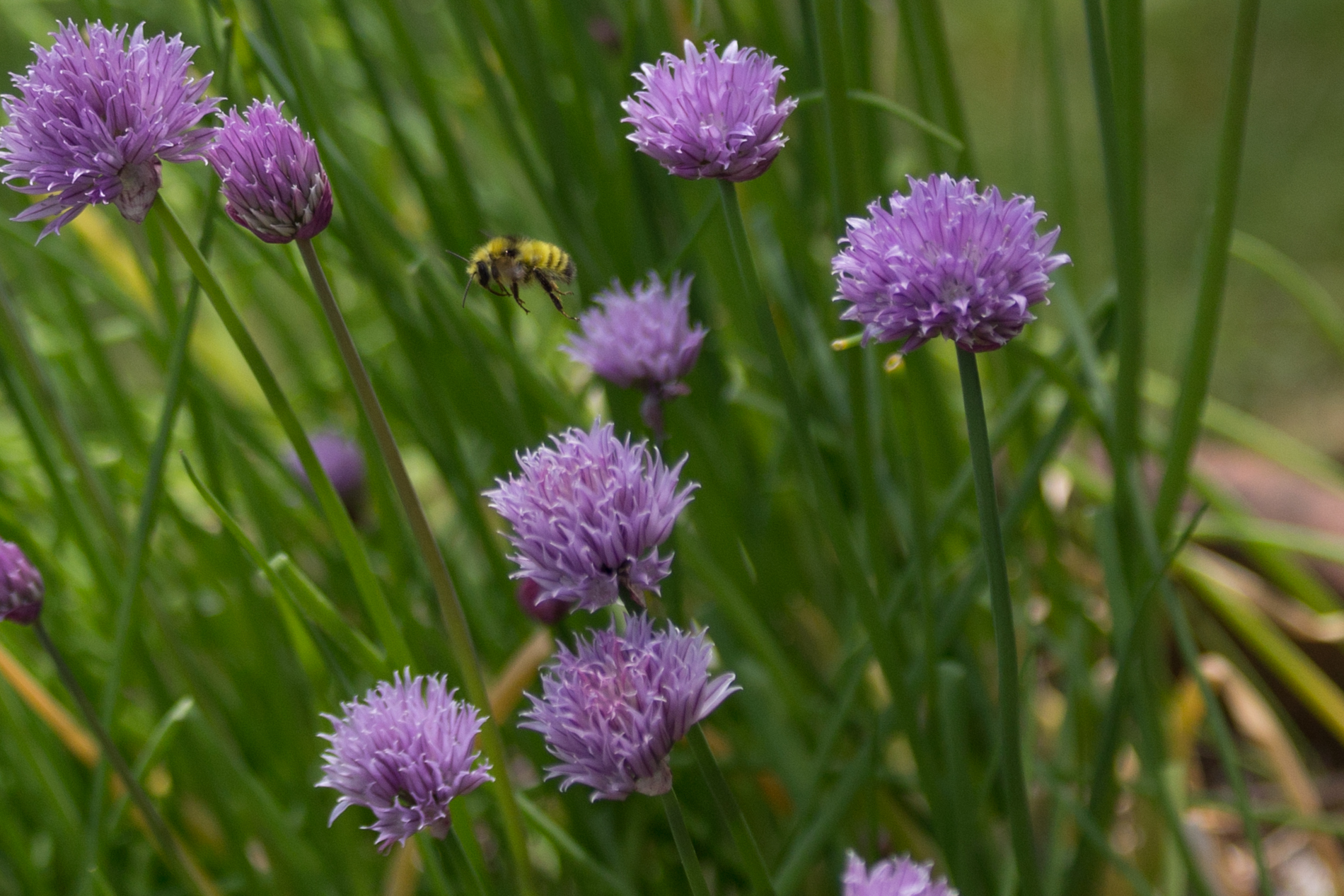 Chives and Flight