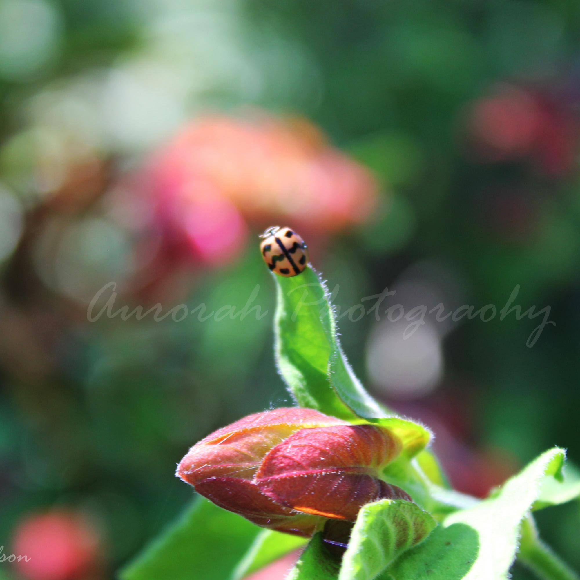Lone lady Bug