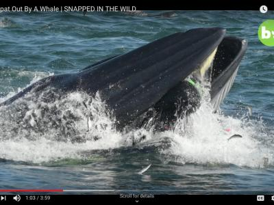 Real-Life Jonah Almost Swallowed by Whale ... image