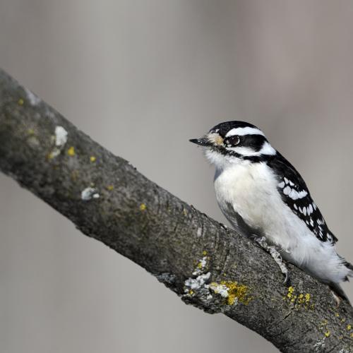 Downy Woodpecker by Bert