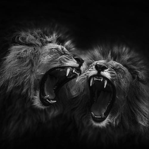 *** Lions *** by Georg Haaser