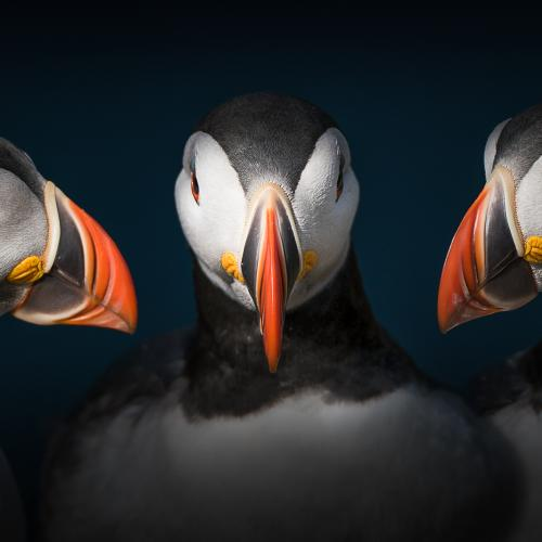 *** Puffin *** by Georg Haaser