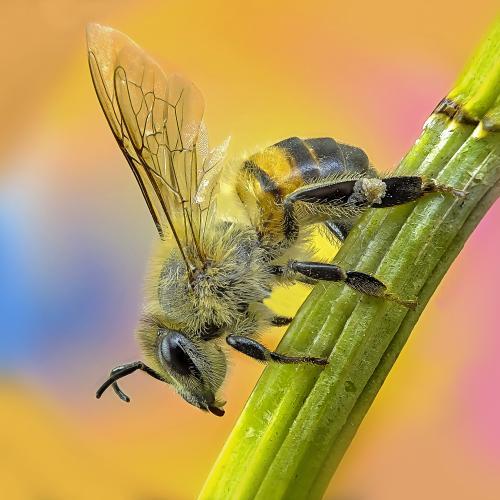 Bee, abelha by rui_santos2016