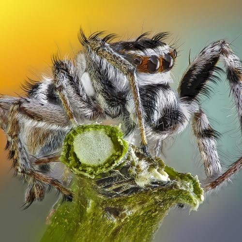 Jumping spider by rui_santos2016