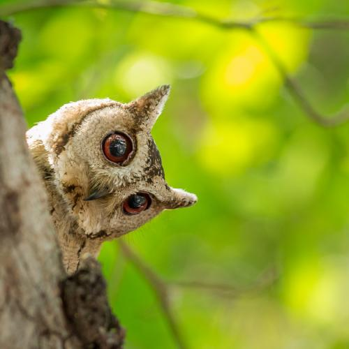 Indian scops owl by Datchinamoorthi