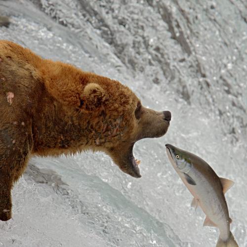Grizzly Catching Salmon by robertrfletcher