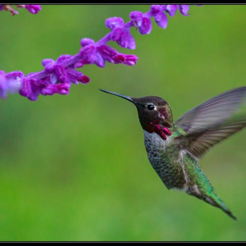Humming bird and lavender  by Ken