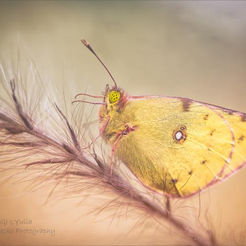Clouded Yellow by GJ