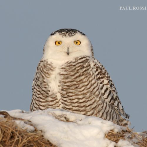 Snowy Owl Hill Top by Paul