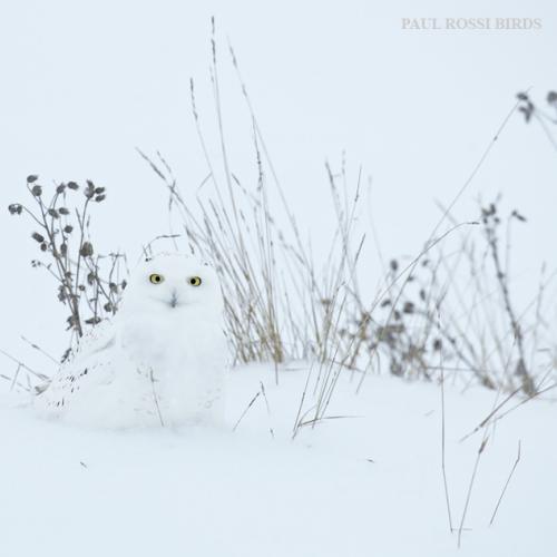 Snowy Owl by Paul