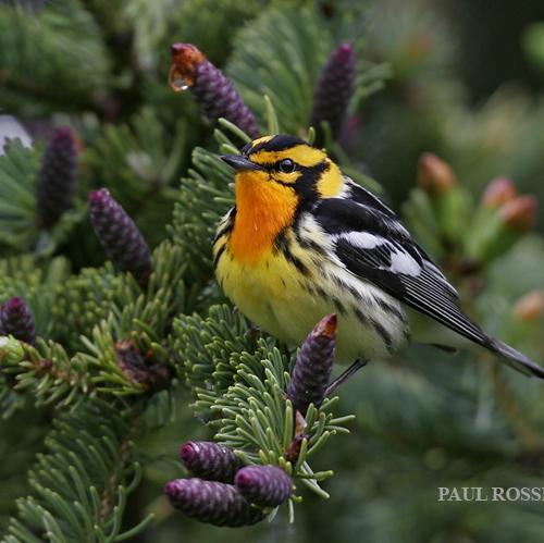 Male Blackburnian Warbler by Paul