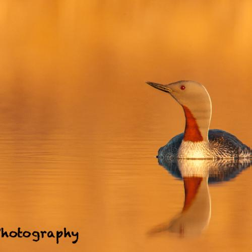 Red-throated Loon by tboyer