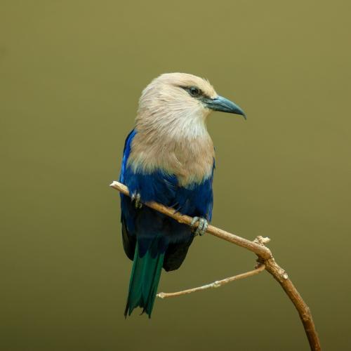 Blue-bellied Roller by Hrodaneig