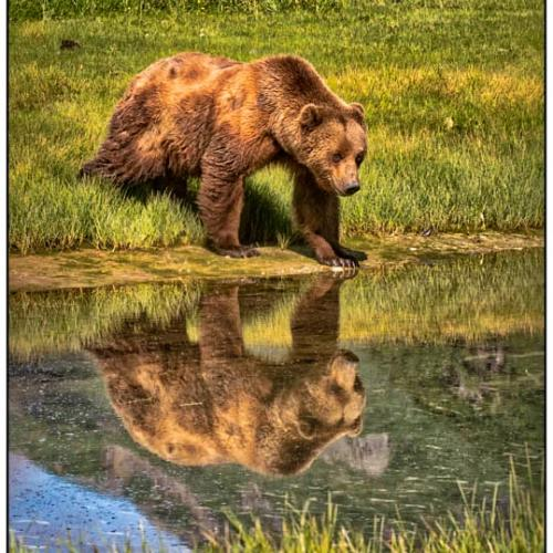 Alaska Brown Bear Reflection by RobsWildlife