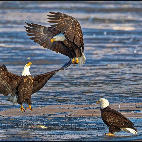 American Bald Eagle Fight  by RobsWildlife