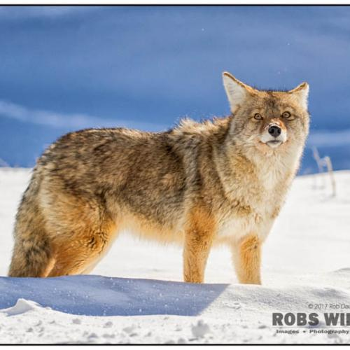 Yellowstone Coyote 5722 by RobsWildlife