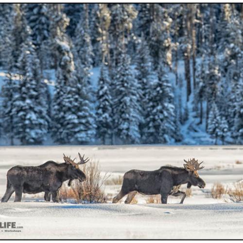 Moose 6406 by RobsWildlife