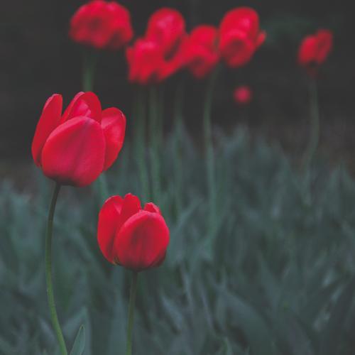 tulpe by Xpongen