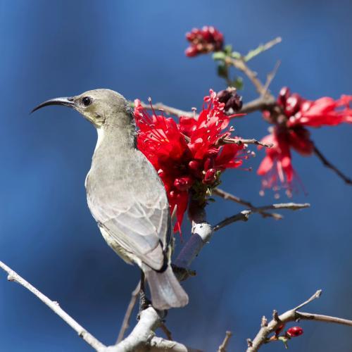 Female Marico Sunbird by LenV_21