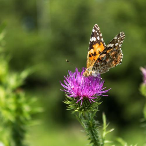 Vanessa cardui butterfly  by Daniel Boca