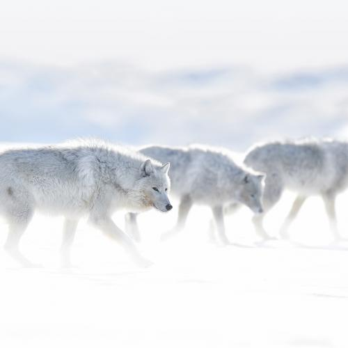 ARCTIC WOLF IMAGES | ACTION SPEAKS LOUDER THAN WORDS by Ejaz Khan by ejazkhanearth