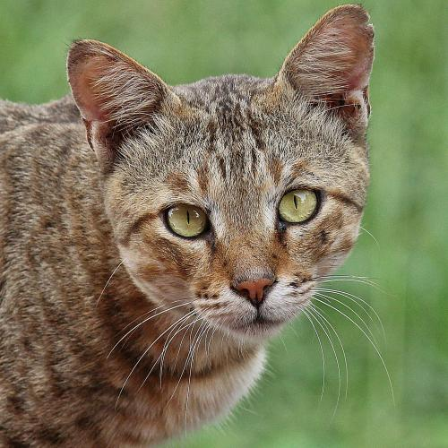 Wild Cat by Ultralight
