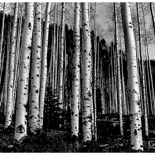 Aspen Grove by George