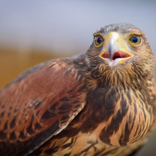 Buzz the Harris's Hawk by Gary R. Hook