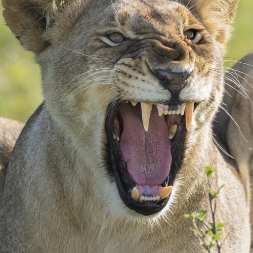 Lion Growl by bryan pereira