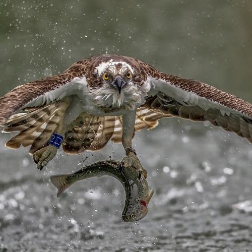 Osprey by robert