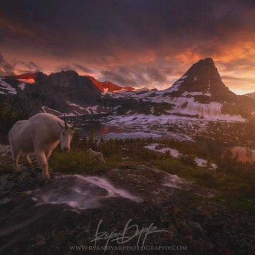 Goat Crossing by Ryan
