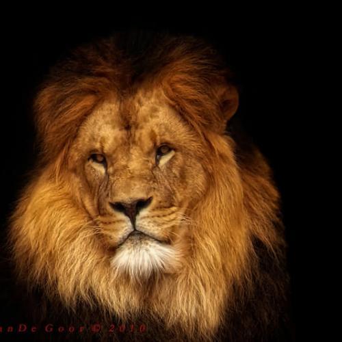 Lion by Lars van de Goor