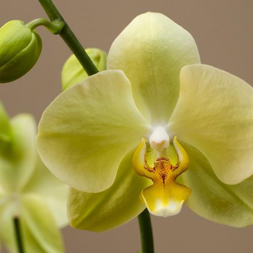 orchid 62 by Dragan Cerovic