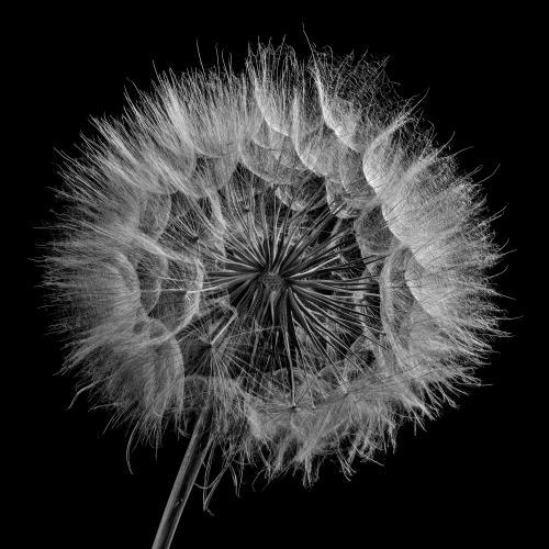 dandelion 10 by Dragan Cerovic