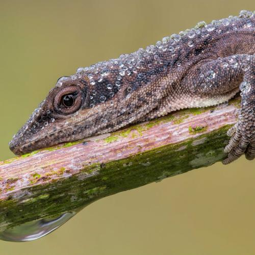 Dewy Anole by William