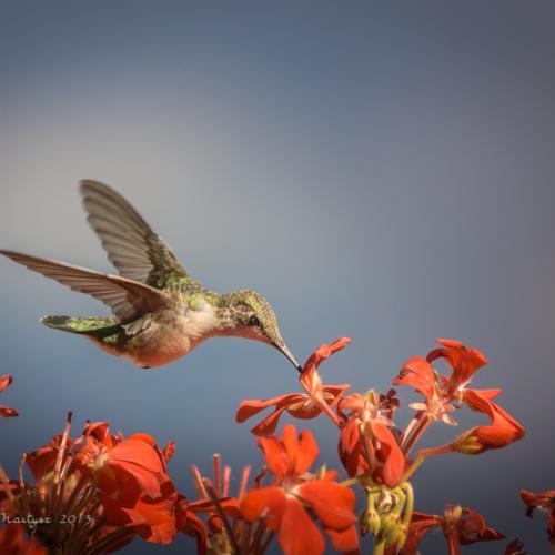 Colibri - My Summer Visitor by Jola Martysz