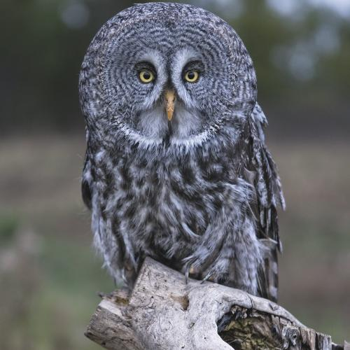 Great Grey Owl by Paul