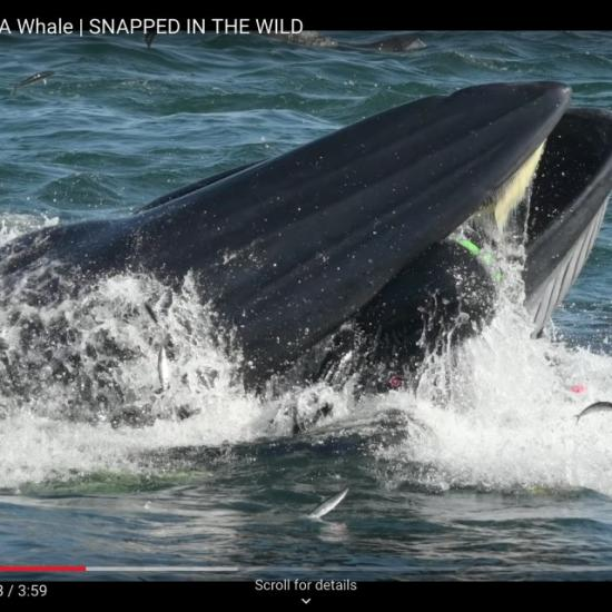 Real-Life Jonah Almost Swallowed by Whale on Video