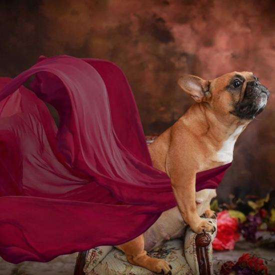 Is There Anything Cuter Than This French Bulldog's Maternity Photoshoot?